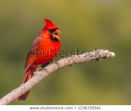 Northern Cardinal Stock photo © saddako2