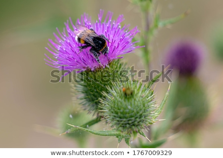 Bumblebee on Thistle Flower Stock photo © zhekos