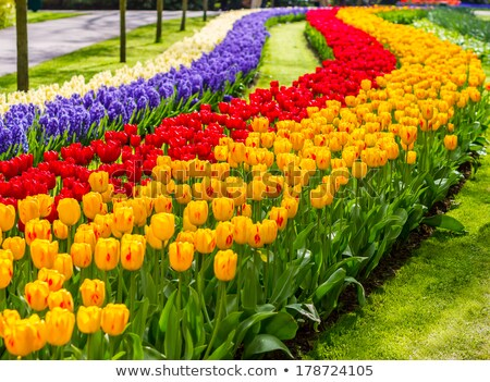 Mix of Holland red and yellow tulips  Stock photo © tannjuska