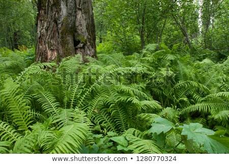 beautiful fern in dense forest in sunlight stock photo © meinzahn