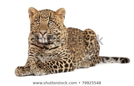 Genç leopar hayvan kedi portre Afrika Stok fotoğraf © OleksandrO
