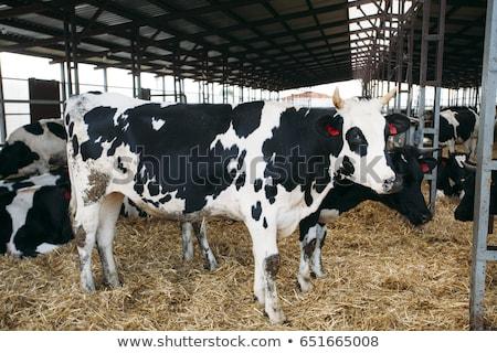 dutch bull stock photo © ivonnewierink