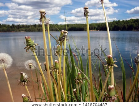 Dandelion flowers on a shore of a lake with clear water stock photo © pixachi
