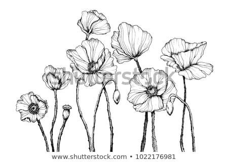 Haşhaş çiçek açılış belirsiz tomurcuk Stok fotoğraf © elenaphoto