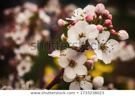 Stock photo: Cluster of Crab Apple Blossoms