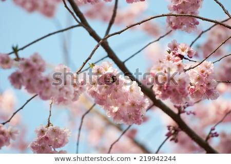bumblebee and cherry blossom stock photo © kurhan
