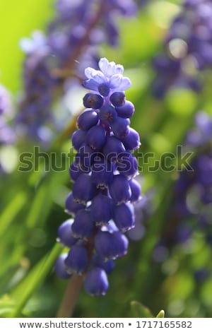 tiny cluster flowers grape hyacinths in a garden stock photo © frankljr