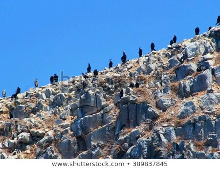 Colony of big black cormorants sitting on rock Stock photo © papa1266