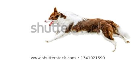 собака · белый · волос · цвета · ПЭТ · вертикальный - Сток-фото © iofoto