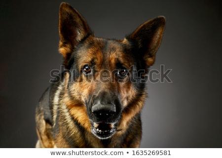 Fekete juhász kutya sötét stúdió boldog Stock fotó © vauvau