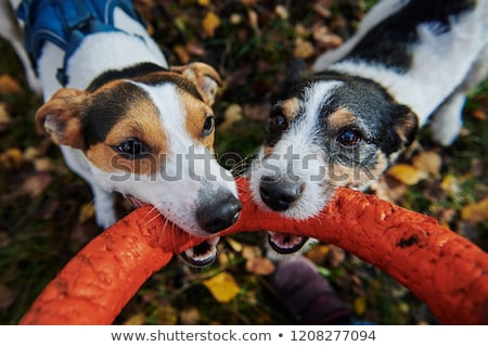 Photo stock: Deux · chiens · bâton · herbe · animaux