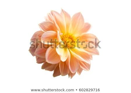 Bella giallo dalia isolato bianco saluto Foto d'archivio © frescomovie