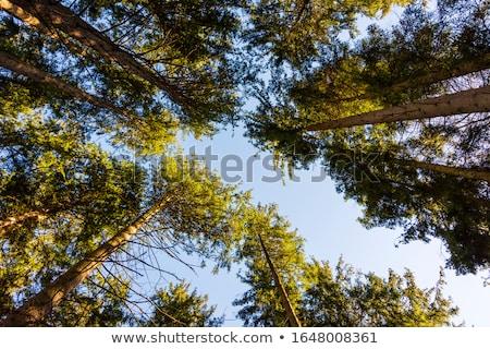 Fák alulról fotózva kilátás Stock fotó © IS2