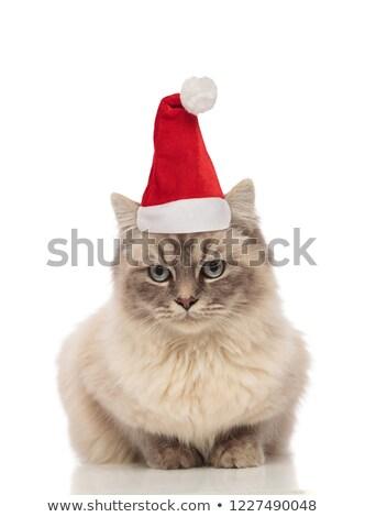 Adorável turco papai noel gato inverno relaxar Foto stock © feedough