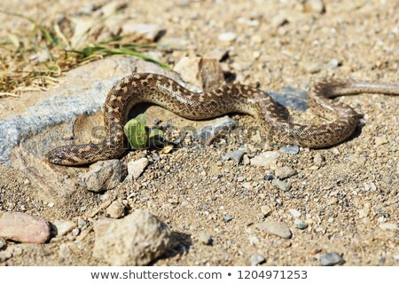 песок землю рептилия природного среда обитания Сток-фото © taviphoto