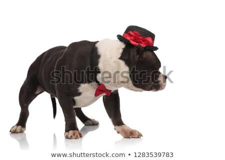 elegant american bully wearing black hat looks down to side Stock photo © feedough