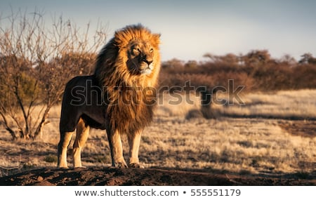 большой · африканских · лев · силуэта · солнце · деревья - Сток-фото © liolle