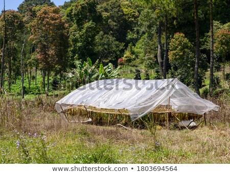 Farmer and raditional tobacco drying in tent Stock photo © simazoran