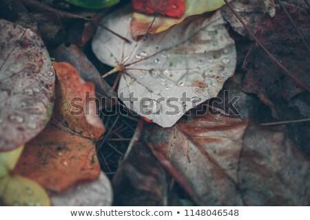 sonbahar · yaprak · çiy · soyut · doğa · bahçe - stok fotoğraf © Alkestida