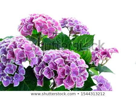 Violet bloem bloemen groene bladeren achtergrond groene Stockfoto © neirfy