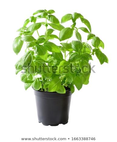 Basilic herbes pot à fleurs isolé blanche alimentaire Photo stock © winterling