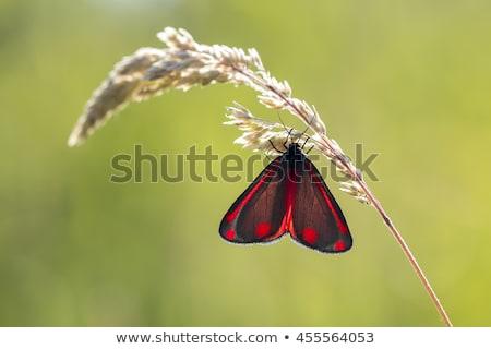 Cinnabar Moth  (Tyria jacobaeae) Stock photo © chris2766
