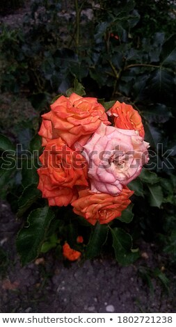yellow orange rose flower cluster stock photo © stocker