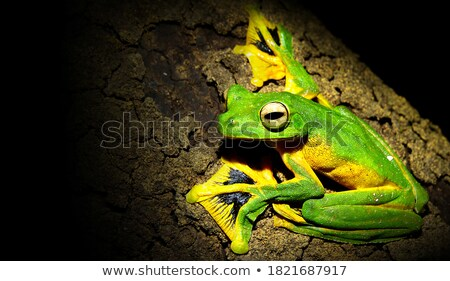 Voador sapo selva verde tropical animal Foto stock © JanPietruszka