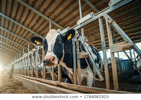 inekler · kararlı · siyah · beyaz · yeme · saman · siyah - stok fotoğraf © ivonnewierink