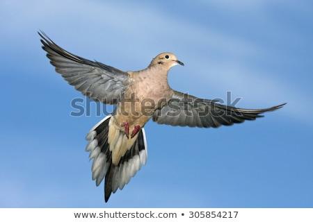 rouw · duif · post · vogel · zaad - stockfoto © brm1949