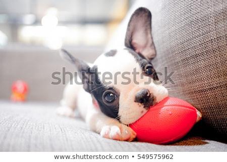 Aranyos kutyakölyök Bordeau ül fehér kutya Stock fotó © willeecole
