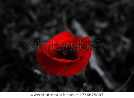 Scarlet poppy Stock photo © pressmaster