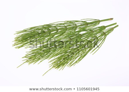 horsetail equisetum healing plant stock photo © joannawnuk