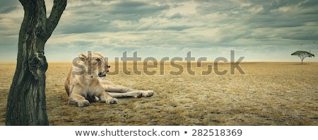 Lion relaxing in the grass Stock photo © Sportactive