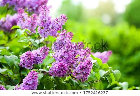 свежие сирень поздний завтрак синий цветы Сток-фото © neirfy