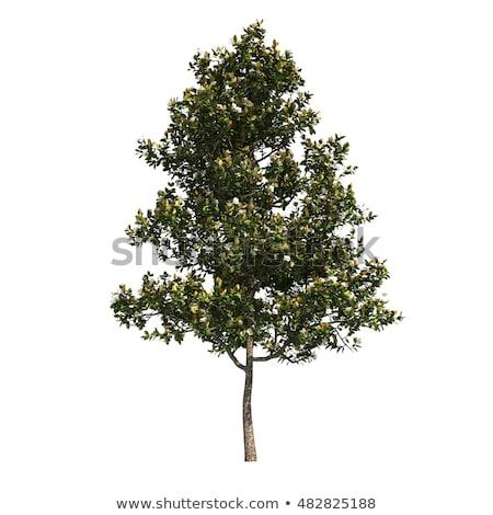 manolya · yaprakları · yeşil · yaprakları · çiçek · ağaç · doğa - stok fotoğraf © bluering
