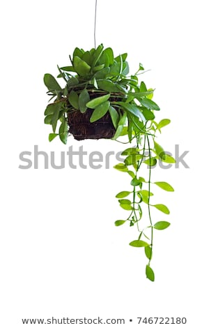 A hanging house plant Stock photo © bluering