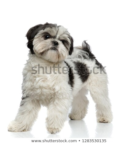 fluffy and small shih tzu steps and looks to side Stock photo © feedough