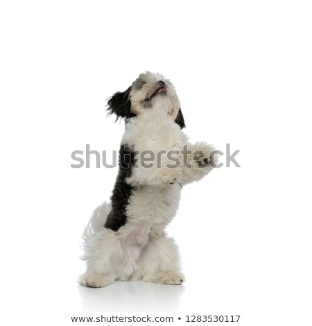 playful shih tzu raising on two legs and looking up Stock photo © feedough