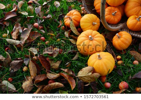 Mini orange pumpkins spilling from a wicker basket  Stock photo © sarahdoow
