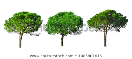 Italian Stone Pines Pinus Pinea also known as Umbrella Pines and Stock photo © Zhukow