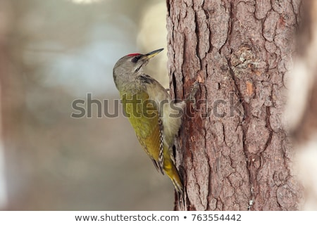 Grey-headed or grey-faced woodpecker female Picus canus Stock photo © Arsgera