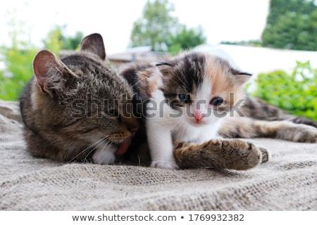 кошки · острый · зрение · глаза · волос · фон - Сток-фото © kawing921