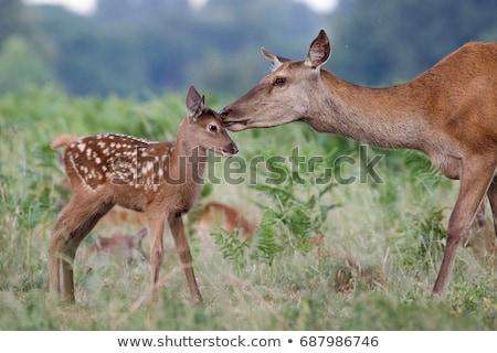ストックフォト: 鹿 · 好奇心の強い · 動物 · 公園 · 美 · 冬