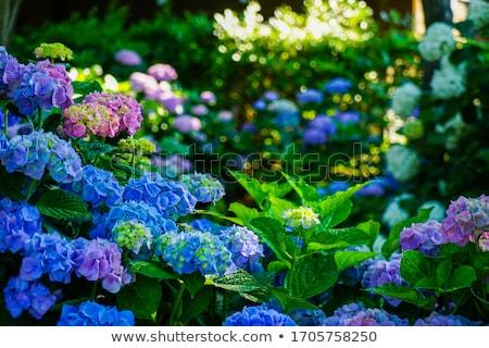 közelkép · kék · virág - stock fotó © yoshiyayo