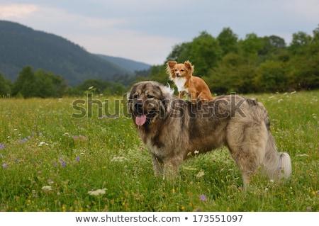 Nagy kis kutya francia bulldog kutyakölyök felfelé néz Stock fotó © willeecole