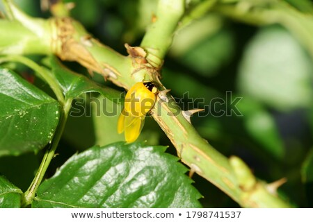 Ladybug larva on the yellow flower Stock photo © sweetcrisis