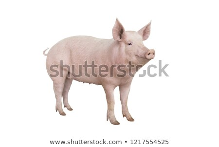 big pig stock photo © jonnysek