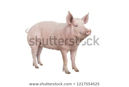 big pig Stock photo © jonnysek