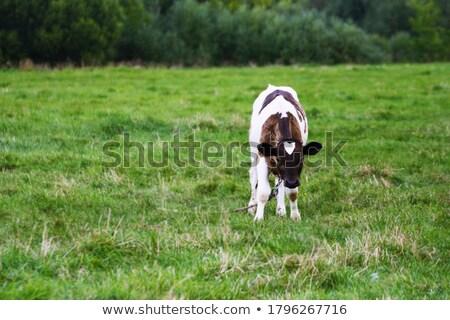 白 ブラウン 小さな 立って フィールド 草 ストックフォト © rhamm